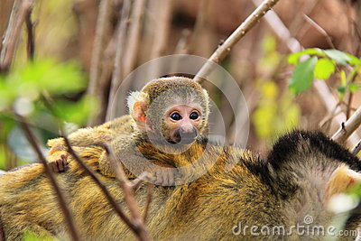 Squirrel baby monkey