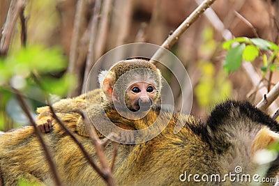 Squirrel baby monkey