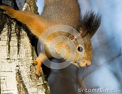 Squirrel on the birch