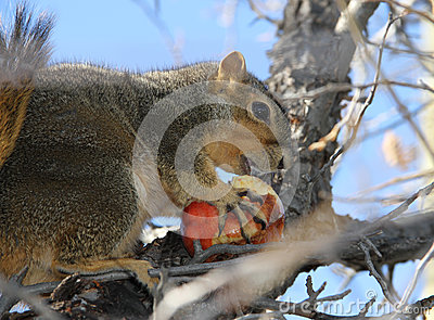 Squirrel carrying winter apple