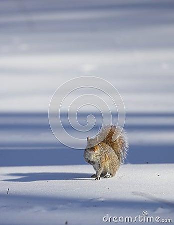 Squirrel - Central Park
