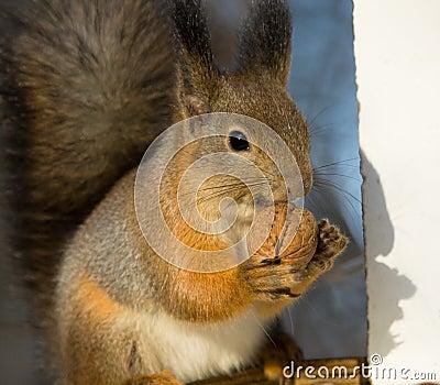 Squirrel chews walnut