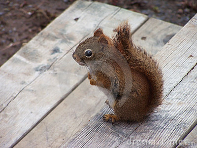 Squirrel on Deck