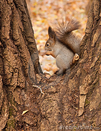 Squirrel eating a nut.