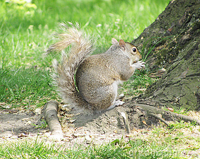 Squirrel Eating A Nut Royalty Free Stock Photo - Image: 9345505