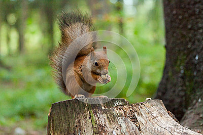 Squirrel is eating a nut
