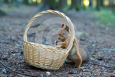 Squirrel is eating nuts from the wicker