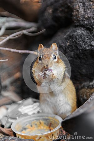 Free Squirrel Eating Peanut Butter Royalty Free Stock Photography - 132291627