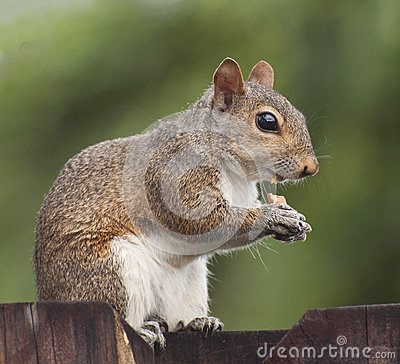 Squirrel eating peanut on a fence