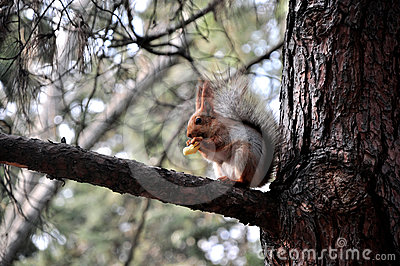 Squirrel eats