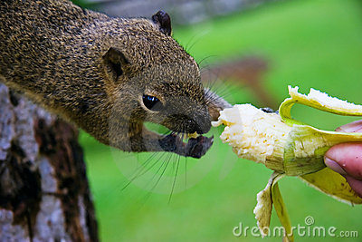 Squirrel eats a banana