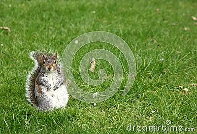 Squirrel In a Grass