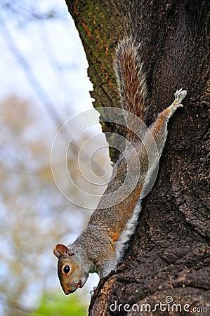 Free Squirrel Hanging On Tree Royalty Free Stock Photos - 14060308