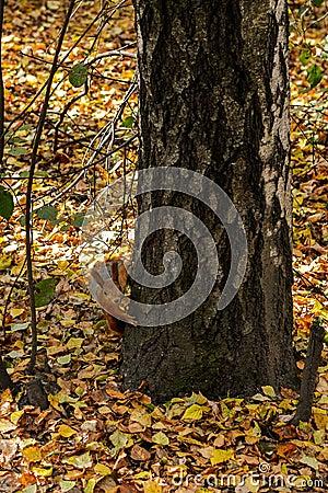 Free Squirrel In Autumn Stock Photo - 87354610