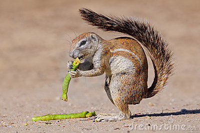 Squirrel, Kalahari, South Africa