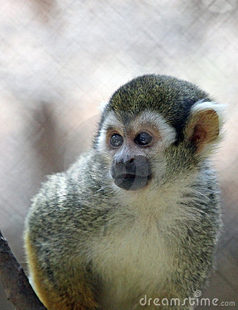 Free Squirrel Monkey Royalty Free Stock Photos - 20541208
