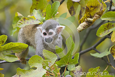 Squirrel Monkey Stock Photography - Image: 24862322