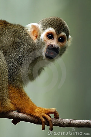 Free Squirrel Monkey Stock Photography - 6969502