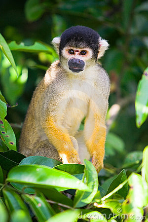 Squirrel monkey, Bolivia