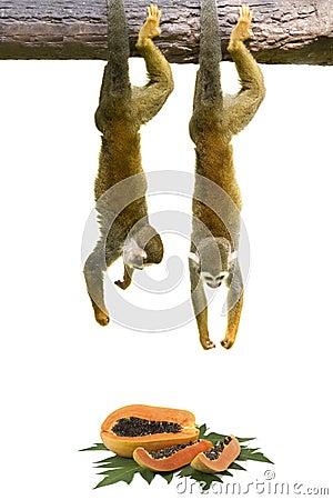 Free Squirrel Monkey Hanging Royalty Free Stock Images - 30495799