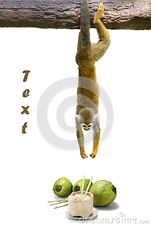 Free Squirrel Monkey Hanging Above Coconut. Royalty Free Stock Images - 30495739