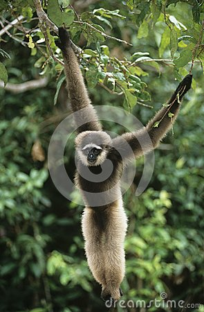 Free Squirrel Monkey Hanging From Tree Stock Photography - 30846612