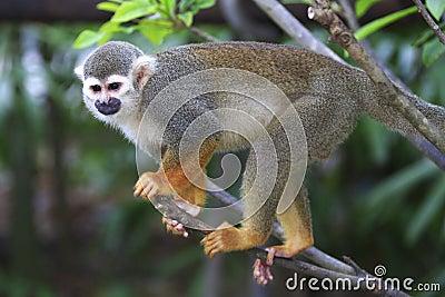 Squirrel Monkey 6
