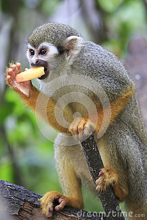Squirrel Monkey 7