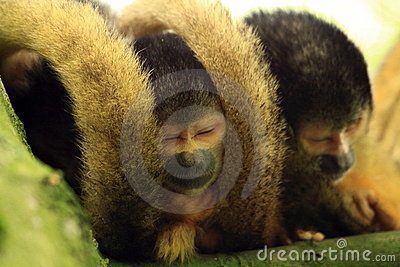 Squirrel monkey s sleeping in a tree