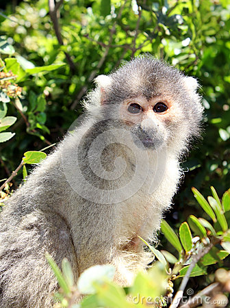 Squirrel monkey sitting on tree branch