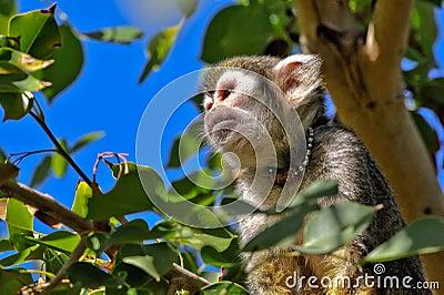 Squirrel monkeys in trees - photo#23