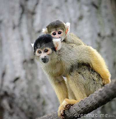 Free Squirrel Monkey With Its Cute Little Baby Royalty Free Stock Photo - 20433605