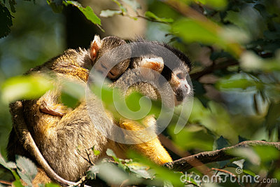 Squirrel monkey with young