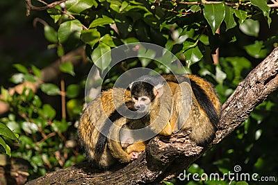 Squirrel monkeys in trees - photo#21