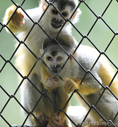 Squirrel monkeys,wildlife reserve,costa rica