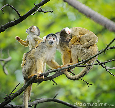 Free Squirrel Monkeys With Their Babies Stock Image - 20433611