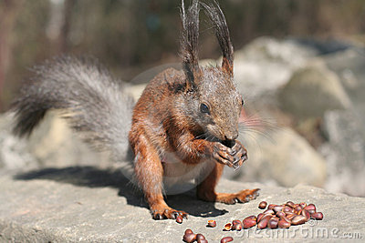 Squirrel in the nature