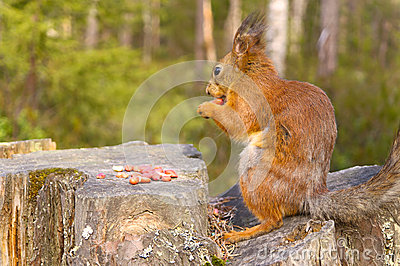 Squirrel with nuts and summer forest on background