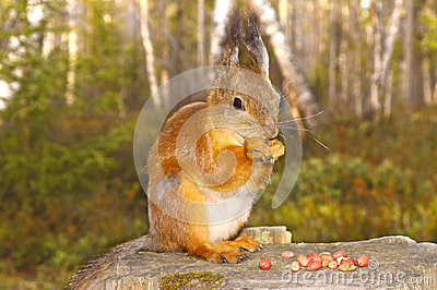 Squirrel with nuts and summer forest on background wild nature