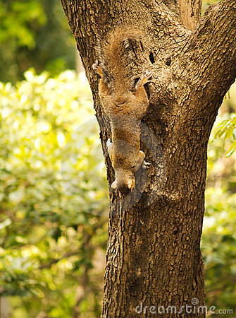 Free Squirrel On A Tree Royalty Free Stock Images - 5335999