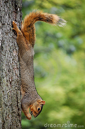 Free Squirrel On Tree Eating Cicada Stock Images - 10653944