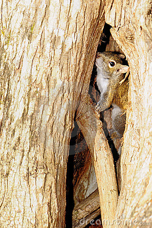 Squirrel Playing Hide-and-Seek