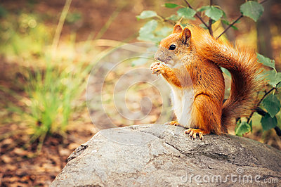 Squirrel red fur with nuts