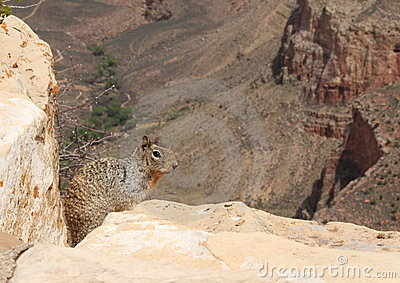 A squirrel on the rim of the grand canyon