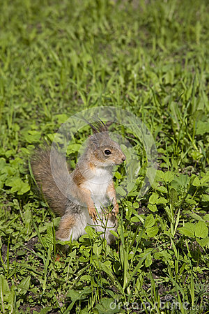 The squirrel sits in a grass