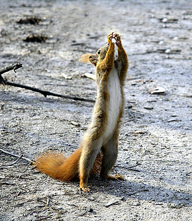 Squirrel standing and reaching