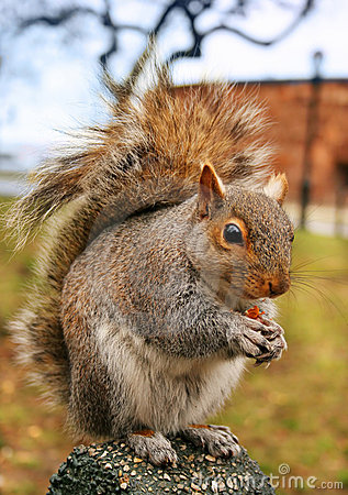 Free Squirrel. Version 2 Royalty Free Stock Image - 3607596