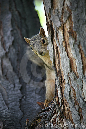 Free Squirrel Watching Stock Photography - 872862