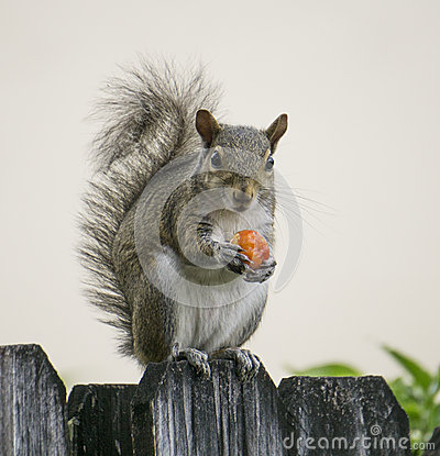 Free Squirrel With Red Berry Royalty Free Stock Images - 54470399