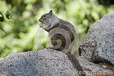 Squirrel in Yosemeite National park